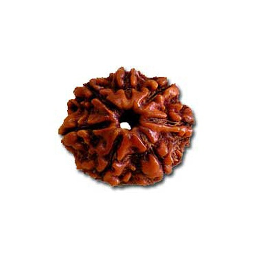 Natural 7 Mukhi Rudraksha Lab Certified