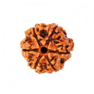 Natural 6 Mukhi Rudraksha Lab Certified
