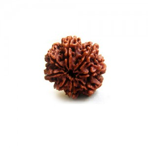 Natural 8 Mukhi Rudraksha Lab Certified