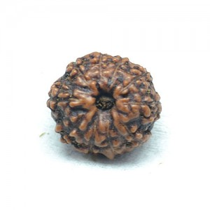 Natural 10 Mukhi Rudraksha Lab Certified