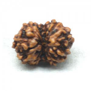 Natural Gauri Shanker Rudraksha Lab Certified