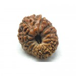 Natural 14 Mukhi Rudraksha Lab Certified