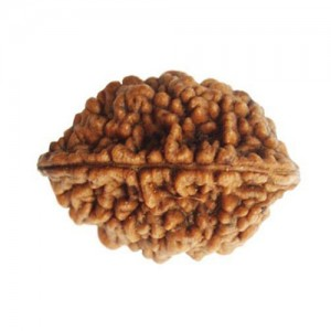 Natural 2 Mukhi Rudraksha Lab Certified