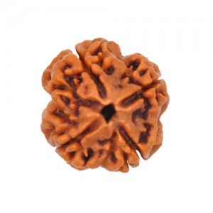 Natural 4 Mukhi Rudraksha Lab Certified