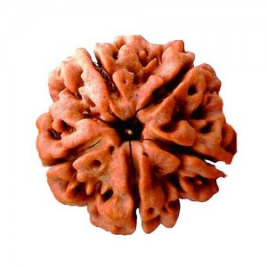 Natural 5 Mukhi Rudraksha Lab Certified