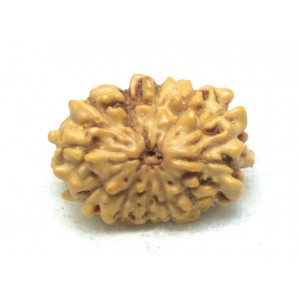 Natural 12 Mukhi Rudraksha Lab Certified