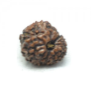 Natural 13 Mukhi Rudraksha Lab Certified