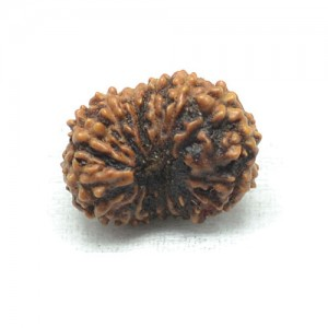 Natural 15 Mukhi Rudraksha Lab Certified