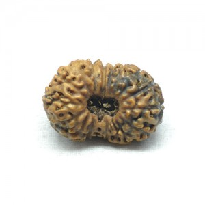 Natural 17 Mukhi Rudraksha Lab Certified
