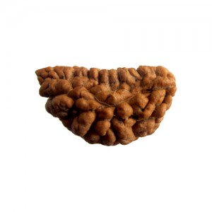Natural 1 Mukhi Rudraksha Lab Certified